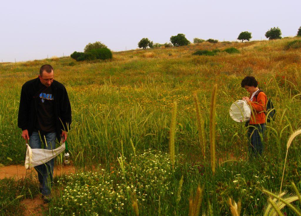 Exploring the diverse arthropod fauna found on plants using butterfly nets, Coastal plain, Israel (photo - Uri Roll)