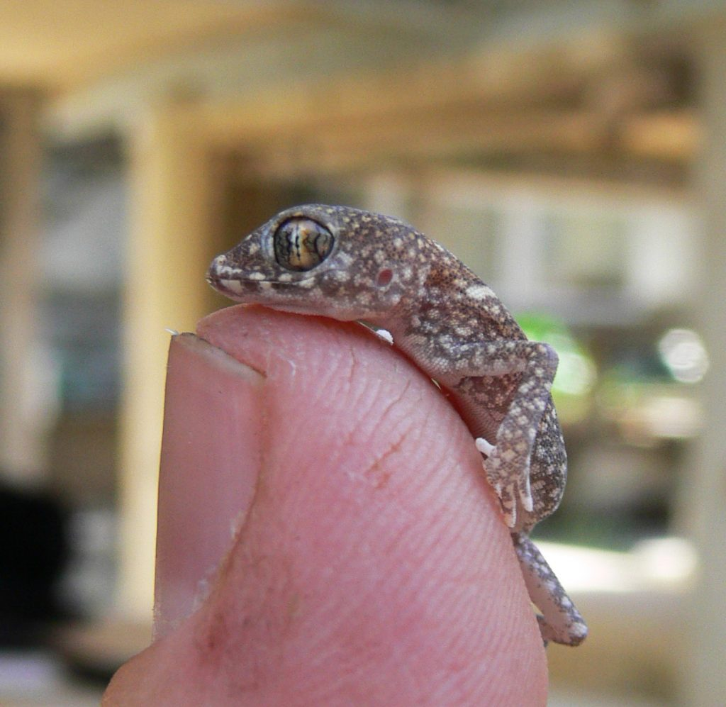 Young Lichtensteins short-fingered gecko (Stenodactylus sthenodactylus) and a finger (Photo - Uri Roll)